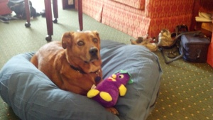 dog in dog bed with eggplant toy.