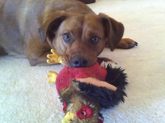 dog playing with toy chicken
