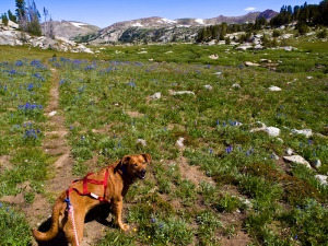 Dog in harness looking backwards down the trail