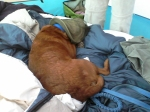 dog with bug-net hat on sleeping on a pile of sleeping bags