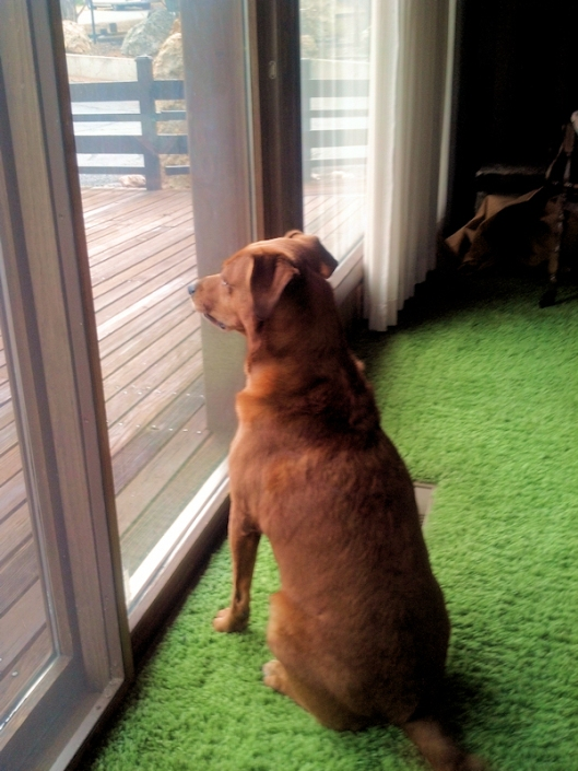 dog at window looking intently