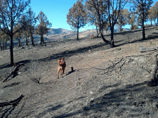 dog running through area live but chared trees following a fire