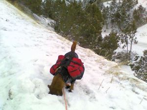 dog with backpacks with face in snow sniffing