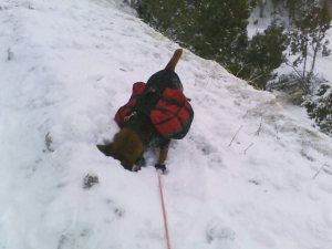 dog in snow with backpacks face in snow sniffing