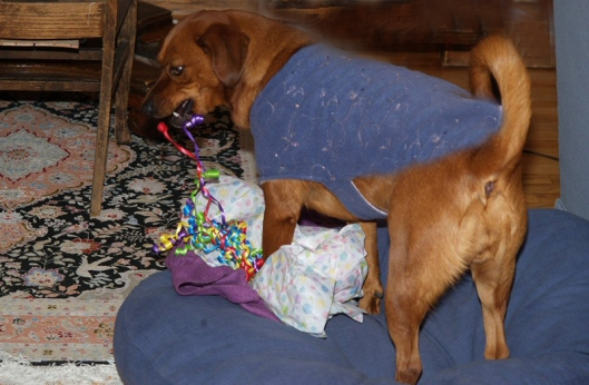 dog pulling on the curly ribbon attached to a wrapped present