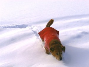 dog up to belly in snow