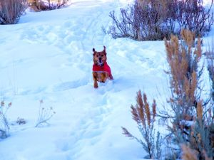 Dog running in snow, ears extended upwards due to running