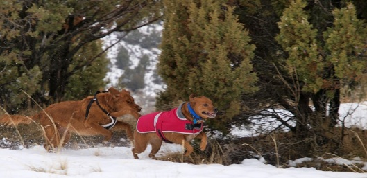 two red dogs playing chase in the snow