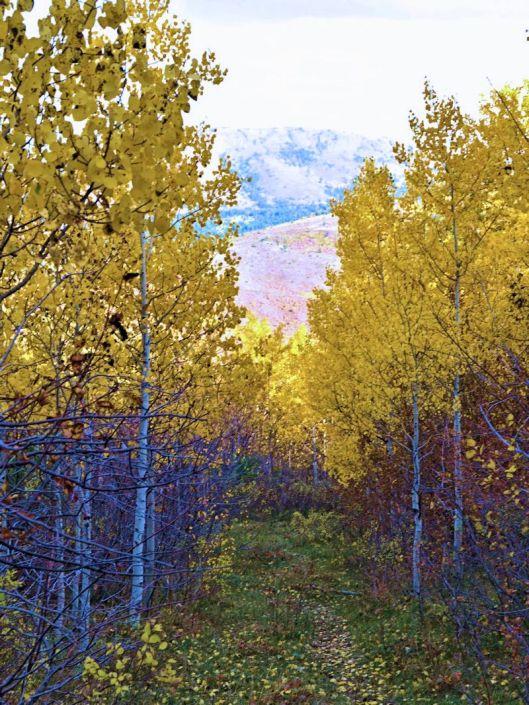 trail through grove of fall gold aspen trees