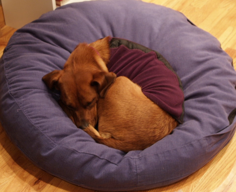 red dog asleep in a round blue dog bed
