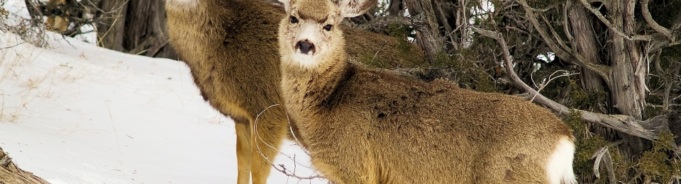 close up of two young mule deer side by side in trees in snow looking atthe camera
