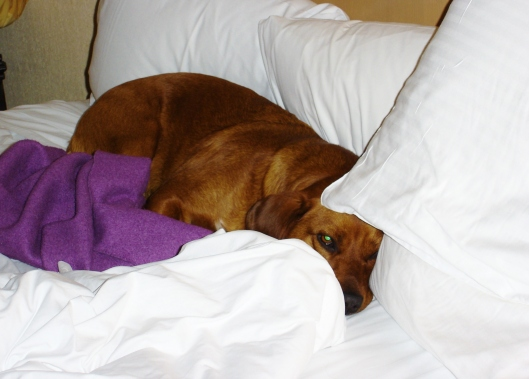 sleepy dog burrowed into the pillows on a bed