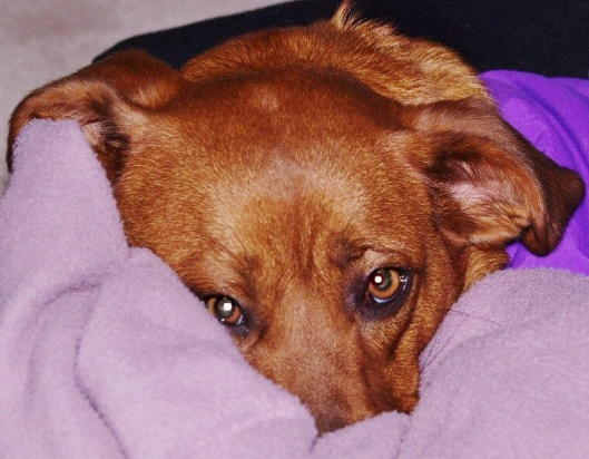 close up of face of red dog nose burried in blanket sad look