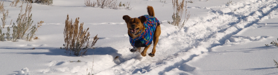 dog running all four feet off the ground ears raised mouth open