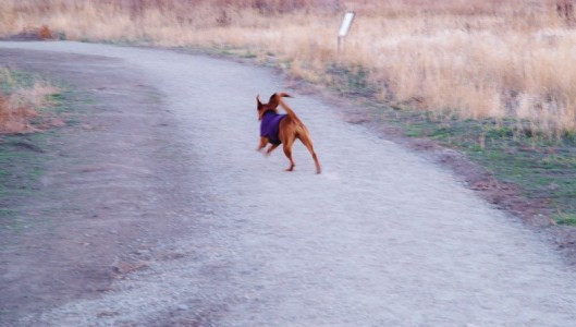 red dog in purple jacket running down gray gravel trail tail high in air