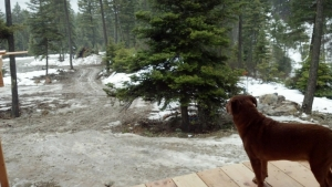 dog staning on porch looking down muddy driveway