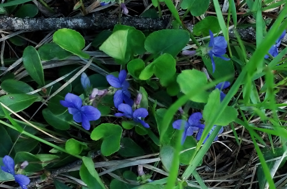 closeup of purple violets in green grass with a light mat of dead grass