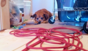 floor level shot of dog lying on floor with face resting on paws, orange electrical cord piled in front and buckets of floor finish to the let of the dog.