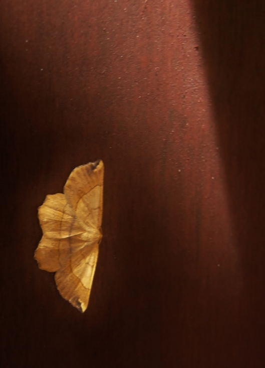 yellow moth on the surface of a piece of wood furniture
