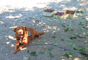 Dog lying on ground which is chalky with small pebbles, cherry leaves scattered about and three boxes of picked cherries in background