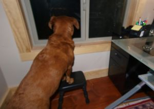 dog standing with front feet on small stool looking out the window with file cabinet and desk on the right
